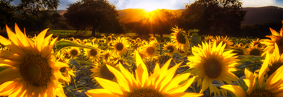 France sunflowers_DSF2470.3.png