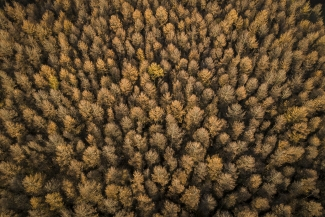Golden Larch trees in autumn