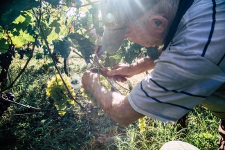 Family harvest. Documenting my family wineyard in Italy