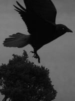 Forest Raven, Cradle Mountain, Tasmania, 2019